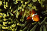 Underwater scene of Clown anemonefish (Amphiprion