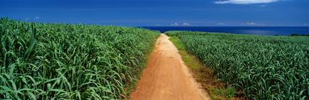 Sugar Cane Fields Okinawa Japan