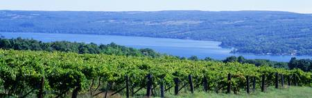 Vineyard Finger Lakes Region NY