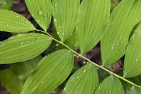 Water droplets on smooth solomon‰Ûªs seal leaves