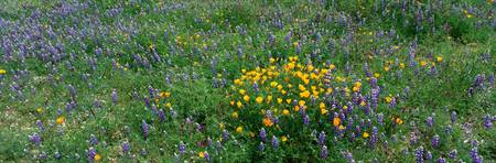 Poppies and Lupines Quinado Canyon California