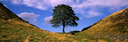 Lone Tree Hadrians Wall (Sycamore Gap ) Northumbe