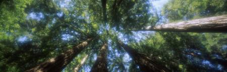 Low angle view of Sequoia trees (Sequoia sempervi
