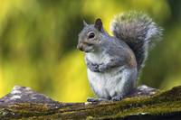Eastern gray squirrel (Sciurus caroliniensis) on