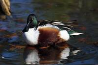 Northern shoveler duck on water