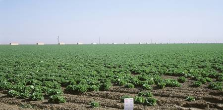 Panoramic view of a field of lettuce