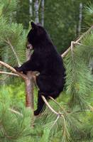 Black bear cub climbing in pine tree