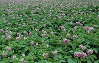 Field of potato plants in bloom