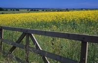 Field of oilseed rape or canola in bloom