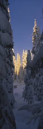 Pine trees covered with snow on a polar landscape
