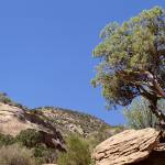"""Lone Pinyon Pine Colorado National Monument CO"" by Panoramic_Images"