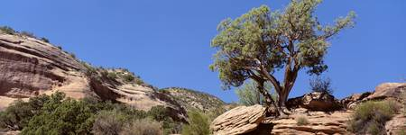 Lone Pinyon Pine Colorado National Monument CO