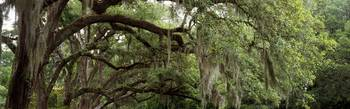 Oak Trees St Francisville LA