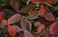 Frosted strawberry plant leaves