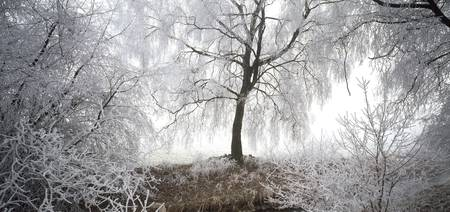 Birch Trees with rime in fog Switzerland