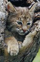 Bobcat kitten inside hollow tree