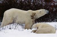 Pair of polar bears eating berries and lying down
