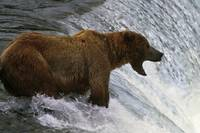 Brown bear at top of waterfall