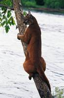 Female cougar perched on leaning tree trunk