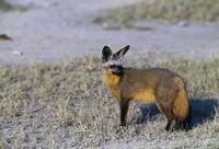 Bat-eared fox standing on plain