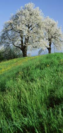 Cherry Trees Cantone Zug Switzerland