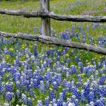 """Bluebonnet flowers blooming around weathered wood"" by Panoramic_Images"