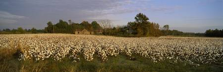 Cotton plants in a field