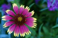 Indian blanket flower in bloom
