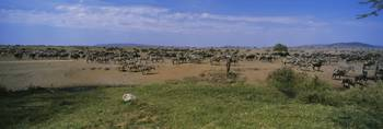 Herd of zebra and wildebeest grazing in a field
