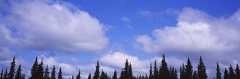 Low angle view of clouds over spruce trees