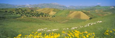 Farmland and Sheep Sicily Italy