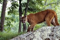 Female cougar stalking