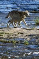 Wolf mother crossing stream with cub