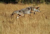 Coyote leaping through autumn color grass