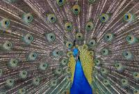 Peacock bird displaying feathers