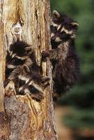 Three young raccoons in hollow tree