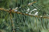 Snow on white fir tree needles (Abies concolor)