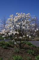 Star magnolia in bloom.
