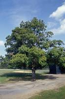 Maple tree in summer