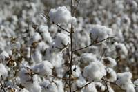 Close-up of cotton plants in a field
