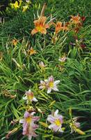 Day lilies blooming.