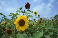Sunflowers (Helianthus annuus) blooming in field