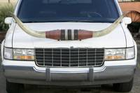 Close-up of a Limousine with cow horns on the hoo