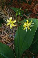 Bluebead lily flowers blooming (Clintonia boreali