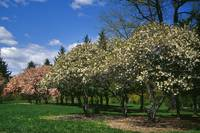 Row of magnolia trees blooming in spring