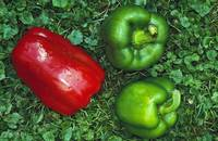 Harvested red and green peppers.
