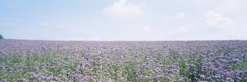 Field Phacelia Flowers Germany