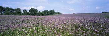 Phacelia flowers in a field