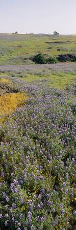 Lupines and Goldfields (Lasthenia) in a field