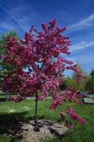 Red prairie crabapple tree (Malus ioensis) in blo